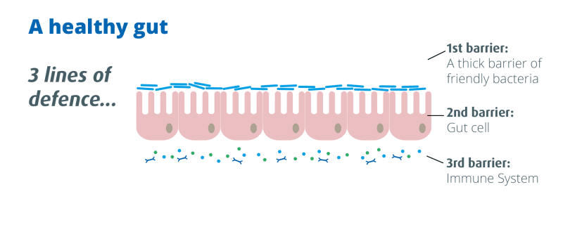 Diagram of a gut wall/ Probiotics Learning Lab